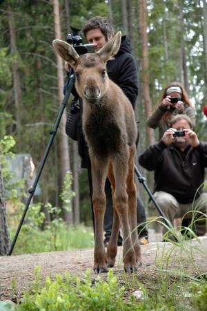 Fick inte leva. Naturvårdsverket gav ingen dispens för att ha kvar den lilla moderslösa älgkalven i älgparken i Mo, Ockelbo.