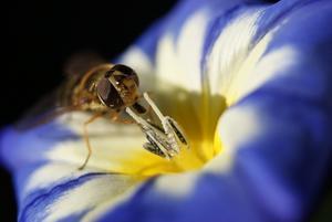 En blomsterfluga på en av blommorna i rabatten.