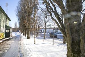 Pelarekarna bakom Hillängens läktare blir offer för motorsågarna när kommunen bygger nya cykelvägen. Däremot skonas lindarna närmast Gamla Bangatan.