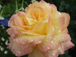 Sommarens sista ros, blommade som vackrast i mitten av september när vi flyttade hem till stan från vår stuga på Gränsta.