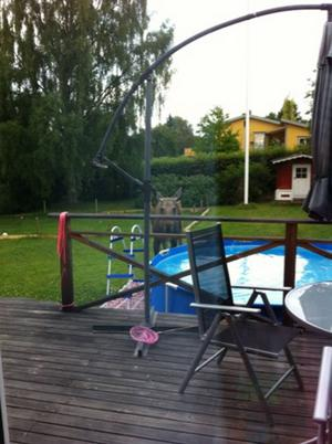 Älgar har setts i villaområden på Frösön.