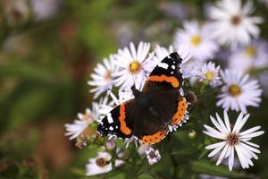 En amiralfjäril har slagit sig ner för att äta lite av det höstastern har att erbjuda. Fjärilarna kläcks i juli-augusti och det behövs blommande växter på slutet av sommaren för att ge dessa mat.