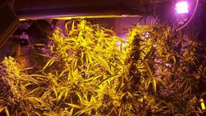 En man från Falu kommun har dömts för att ha tillverkat narkotika. Den cannabis och de odlingslampor som beslagtagits från mannen ska förverkas. Mannen har erkänt narkotikabrottet. OBS: Bilden är tagen i ett annat sammanhang.
