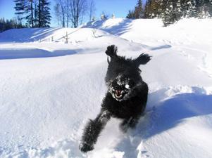 """""""Min riesenschnauzer Kenny är en hund man kan ha till så mycket kul! Åka skidor, leka i snön och så en massa mys!"""" Foto: Anna Lewholt, Nälden."""