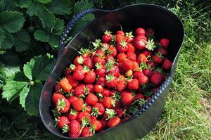 Det gick snabbt att fylla hinkarna med jordgubbar för de som kommit för att plocka. Värmen gör att jordgubbarna mognar fort och så varmt som de är nu hinner de knappt plockas innan de blir övermogna.