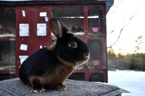 En kanin av rasen Black and tan som hör hemma hos Hanz Johansson i Västerede, strax utanför Bispgården.