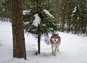 Vargar i snöig skog.