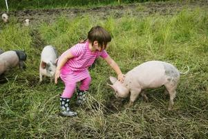 Elsa är väldigt förtjust i de små grisarna och springer hela tiden omkring och klappar dem.