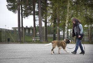Manfred och hans matte Maria Olenäs tränar följsamhet.   – Det har varit jättebra att arbeta med störning som bilar, hundar, cyklar och att få hjälp med att försvåra övningar, säger Maria.