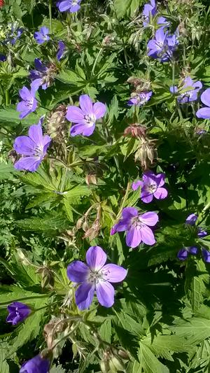 På nationaldagen blommade det lite överallt på gården. Bild av Magdalena Alm i Borlänge.