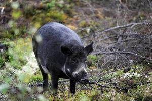 Förra året inträffade ett antal viltolyckor med vildsvin i Fagersta.