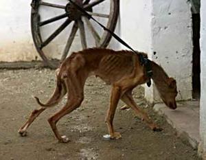 Hjälplös. Många av gatuhundarna som kommer till SOS hundgård i Spanien är mycket vanvårdade och utmärglade. Canela på bilden är ett exempel. Efter en tid hos SOS, kunde hon adopteras av en familj i Belgien. På SOS hemsida: www.sos-animals.se går det att läsa om fler hundar som räddats från gatan. Foto:www.sos-animals.se