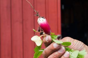 Garaterat ekologisk. Augusto har sommarens förbrukning av rädisor säkrad.