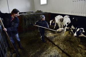 Att föda upp tjurar kräver dagligt arbete. Tur att Linnea är med i ladugården och hjälper mamma Elin.