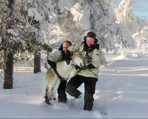 Vargforskaren Per Ahlqvist och professor Jon Arnemo bär fram den ena vargen till en presenning för att kunna ta DNA-prov och sätta på en sändare.