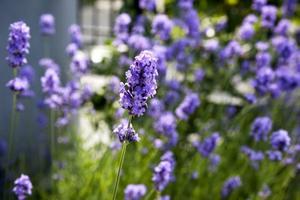 Lavendeln blommar för fullt...