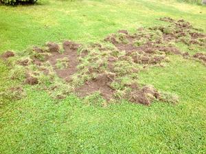 Efter vildsvinens framfart var en del av gräsmattan uppbökad. Foto: Privat