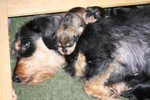 Våran tik Ranbergens Anthus Gretha med 2 av sina valpar som föddes på årets sista dag 2010.