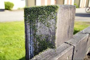 Att bladlössen är ovanligt många i år kan leda till allt fler nyckelpigor och blomflugor.