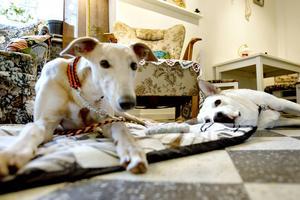 Greyhounden Elva och Alaskan Malamutehunden Chabo trivs i varandras sällskap.