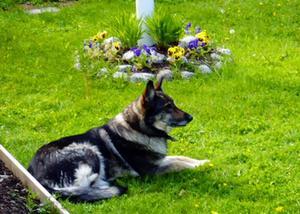 Någon har stulit hunden Fia från familjen Lantz i Stavre.