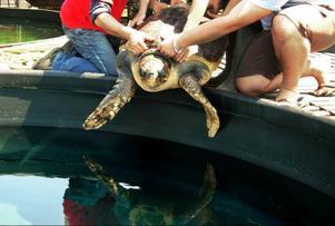 Den största havssköldpaddan på rehabiliteringscentret heter Marina och väger 85 kilo. Hon ska få komma ut i solen en stund och flyttas därför över till en stor tank.Foto: Privat