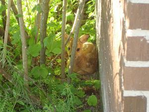 Jag var över till grannen och skulle klippa gräset. När jag klippte intill busken så fick jag syn på den söta rådjurskillingen. Då sprang jag och hämtade kameran och tog några foton på den.