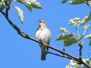 Denna lilla fågel gladde oss med sin vackra sång varje dag under de två vårveckor vi vistades på Öland. Lövsångaren räknas som Sveriges vanligaste fågel och finns hos oss i 10-12 miljoner par.