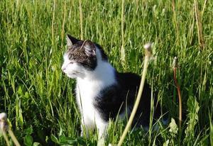"""Nisse gillar kaninmat allra bäst.""""Jag vill skicka i en bild på min katt Nisse (en honkatt) för att hon är väldigt speciell. Hon föredrar kaninmat än annan mat, hon gillar att leka kurragömma, och hon älskar att retas genom att helt plötsligt hoppa fram och bita en någonstans för att sedan springa gömma sig. Men framför allt är hon jättesöt och snäll och hon gillar alla. Hon är försiktig av sig och tar inga risker, är gärna inne fast hon får gå ut när hon vill."""" Foto: Hanna Bouvin, Frösön."""