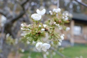 Trädet slog ut i blom när det var kallare och inga insekter, men värmen kom.