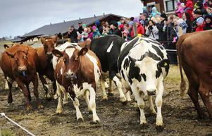 Ett 50-tal kor sprang ut ur ladugården under kosläppet som arrangerades på Torsta i helgen.