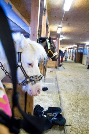 Under helgens träningar i Ås var det främst ponnyer som deltagarna red på.