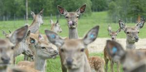 En arg hjort lägger öronen bakåt, går styvt på benen, hänger ut tungan och gnisslar med tänderna. Men den här hjorten är nog bara nyfiken.