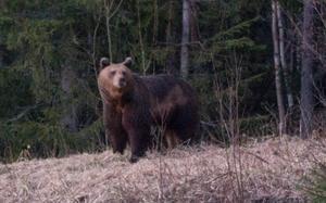 Sefast Rejving mötte mängder med djur på väg hem, bland annat den här björnhonan alldels utanför Aspås.