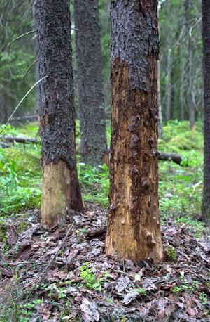 Friska granar som dött efter angrepp av granbarksborrar.