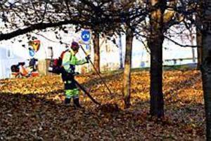 Markbyggarnas personal får ägna höstarbetsdagarna åt att samla ihop mängder av färgglada löv. Sedan körs alltihop till Alderholmen för kompostering.Foto: NICK BLACKMON