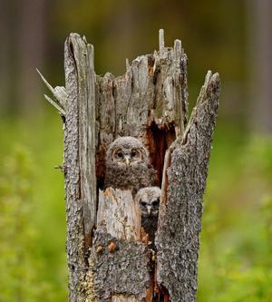 Två slaguggleungar, Hälsinglands landskapsfågel. Lägg märke till storleksskillnaden på ungarna.Foto: Seth Nilsson, HudiksvallJuryns omdöme: En riktigt proffsig naturbild. Man möter en uggleblick – det är häftigt!