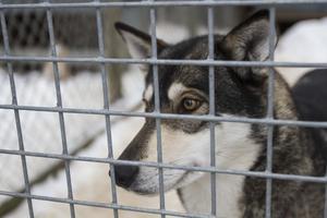 Isa är en av Tarjas ledarhundar som springer längst fram.