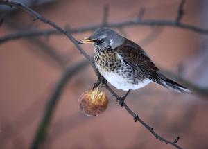 Björktrast   Lägger man ut äpplen vid fågelmatningen kan man vissa år få besök av både björktrast och koltrast. Detta är fåglar som