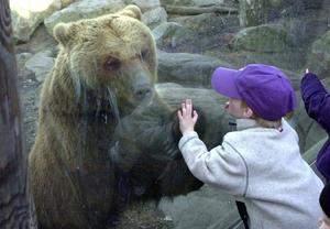 spänning. Närkontakt med en björn på Skansen.