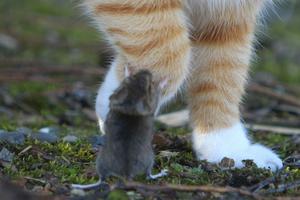 Katten Fisen kom hem med en mus härom dagen. Men det var inte vilken mus som helst! Det här är den kaxigaste mus jag någonsin sett. Istället för att ge sig av när den hade chansen så gav den sig på katten istället! Helt galen!Det hände inte bara en gång utan flera gånger.En riktig supermus!