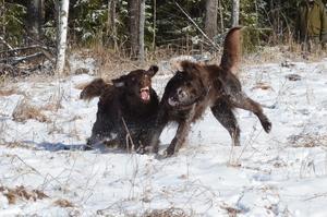 Britt-Marie Hanssons hundar Posse och Tippen busar i naturen. Foto: Britt-Marie Hansson