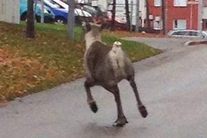 En ren fångades under onsdagen på bild när den sprang runt på Bruskvägen i centrala Kramfors.