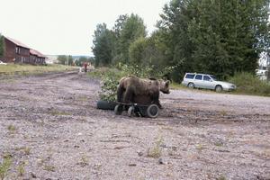 Det var Olle Eklund från Edsbyn som sköt björnen, som nu är uppstoppad och monterad på en radiostyrd permobil, som Sten-Åke Rönnqvist kan styra på håll. Olle Eklund var för övrigt en av besökarna under dagen vid Edsbyns station.