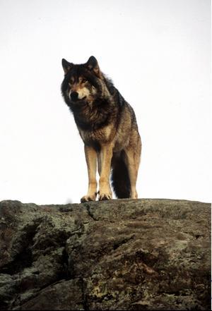 Nya gener för gråben. För att den svenska vargstammen ska bli accepterad och livskraftig krävs både hänsyn till de förutsättningar som gäller för vild natur och hänsyn till människor som påverkas i sitt arbete och boende. foto: scanpix
