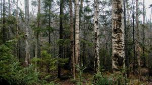 INSÄNDARE: Återbeskoga gärna med blandskog