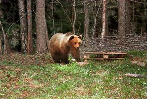 Björnen i Bönan blev allt mer närgången och beslut om skyddsjakt tog.