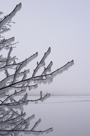 Nysnö hängandes i träd en disig dag vid sjön Noren, Norberg