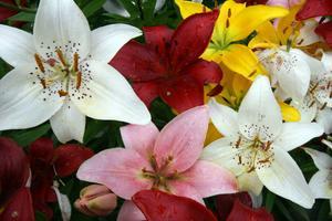 Liljorna står på rad i en vacker blandning av färger.