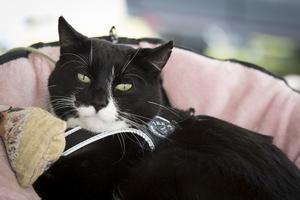 Katten Sören hjälper andra katter genom att bli klappad. Hittills har han dragit in över 600 000 kronor.